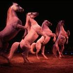Steigende Lippizzanerhengste im Zirkus Knie. (Sehen Sie dazu auch die Seite Zirkus).