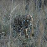 """Bengaltigerin """"Arrowhead"""" (T84) im Ranthambore Nationalpark, Indien. Mehr Bilder in den Galerien Indien I - IV."""
