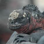 Meerechse Galapagos (Punta Suarez). Mehr Bilder in den Galerien Ecuador I und II.