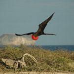 Magnificent frigate bird, Galapagos (North Seymour). Mehr Bilder zu Galapagos in den Galerien Ecuador I und II.