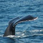 Whale Watching in Eden, Südostaustralien. Mehr Bilder in den Galerien Australien I - III