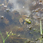 Ein Frosch sonnt sich!