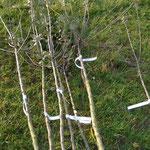 Die zu pfanzenden Obstbäume