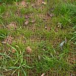 Détail de la végétalisation d'un talus protégé par natte coco renforcée par un géofilet