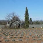 Borie et champ de lavande en attendant la floraison