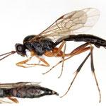 Cephaloglypta murinanae (Bauer, 1941) トドマツハマキヤドリヒメバチ ♀ [det. Kyohei WATANABE]
