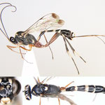 Leptobatopsis indica (Cameron, 1897) トウヨウホソウスマルヒメバチ(♀) [det. Kyohei WATANABE]