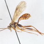 Banchus sanjozanus Uchida, 1929 サンジョウトゲウスマルヒメバチ [det. Kyohei WATANABE]