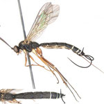 Teleutaea ussuriensis (Golovisnin, 1928) ツノナガハマキヤドリヒメバチ ♀ [det. Kyohei WATANABE]