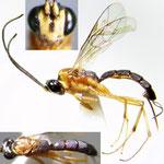 Tossinola ryukyuensis Watanabe, Ishikawa & Konishi, 2010 ハレギウスマルヒメバチ ♀ [det. Kyohei WATANABE]