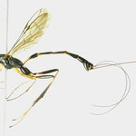 Leptobatopsis appendiculata Momoi, 1960(♀) [det. Kyohei WATANABE]