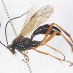 Banchus palpalis Ruthe, 1859 クロトゲウスマルヒメバチ [det. Kyohei WATANABE]