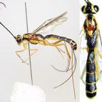 Himertosoma kuslitzkii Watanabe & Maeto, 2012 ♀ [holotype]