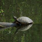 Gelbbauch-Schmuckschildkröte (Foto: Wolfgang Voigt)