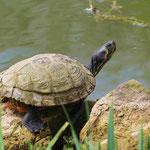Gelbwangen-Schmuckschildkröte (Foto: Wolfgang Voigt)
