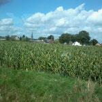 Hagelschaden im Mais, der ist hin!!!