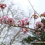 八重桜が100本植えてある一角があり花見の名所です