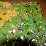 Fondantblätter auf alufolie, hierbei darauf achten, dass die alufolie in wellen liegt. Das ergibt 3D -Blätter