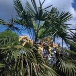 Trachycarpus fortunei in Blüte