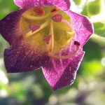 Blüte einer Belladonna - schwarze Tollkirsche