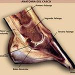 Anatomia del dedo equino, las tres falangues y sus articulaciones.