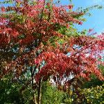 Herbst in Geesthelle: Schöne Blattfärbung