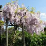 Frühling in Geesthelle: Blauregen