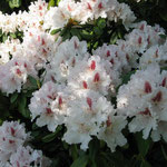 Frühling in Geesthelle: Rhododendron