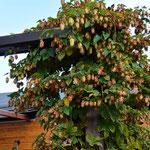 Herbst in Geesthelle: Wilder Hopfen