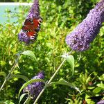Schmetterlinge lieben den Sommerflieder