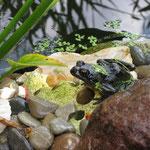 Ein Frosch am Gartenteich