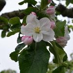 Frühling in Geesthelle: Der Apfelbaum blüht