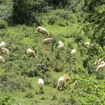 Ausflug der Schafe!