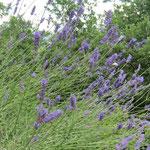Summen und Surren im Lavendelstrauch