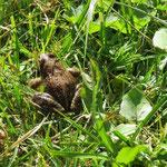 Frosch - nicht hüpfend