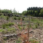Großer Ausfall der 2020 neu gepflanzten Kulturen durch die Trockenheit_Heiligenberg_05-2020