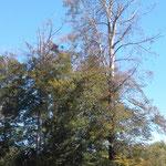 Gemeindewald Friesenheim