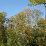 Schadbild Eiche 1_östlicher Ostalbkreis_07-2020