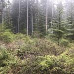 Bei Dürre verschont der Kupferstecher auch die Naturverjüngung nicht_Eisenbach
