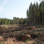 Sturmfläche 2020 zum Teil schon wieder neu bepflanzt_Denkingen_05-2020