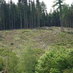 Räumung nach immer wiederkehrendem Käfer und Sturm_Heiligenberg_05-2020