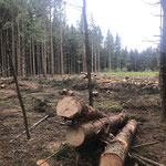 Sturmholz in Durchforstungsbeständen tut dem Waldbesitzer besonders weh_Eberhardzell