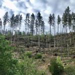 Vom Wintersturm Sabine schwer gezeichneter Bestand im Hochschwarzwald_Lenzkirch