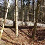 Kieselberg_Windwurf Fichte_02-2020
