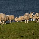 Schafherde, Isle of Skye