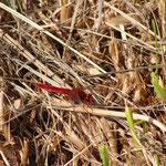 Libellule rouge le long du canal