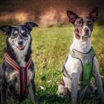 Pro Dog Fest 2017 Haylie aus Bucov & Pablo aus Baile.