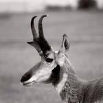 """Antelope, 9.5"""" x 9.5"""", 2013"""