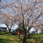 桜は良いなー・・・
