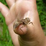 見つけた蜂です。弱っていたので触りましたが、普段は絶対触らないでくださいね。